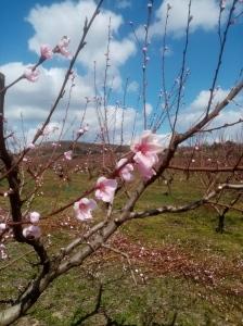 KOMÁROM-ESZTERGOM_ŐSZIBARACK2_Tavaszi_fenológia_Méhészújság_2021